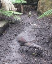 Lyrebird (immature)